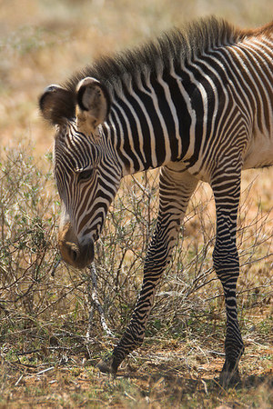 Samburu NP Grevy's Zebra foal