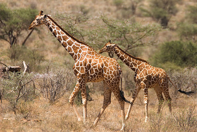 Samburu NP Reticulated Giraffe