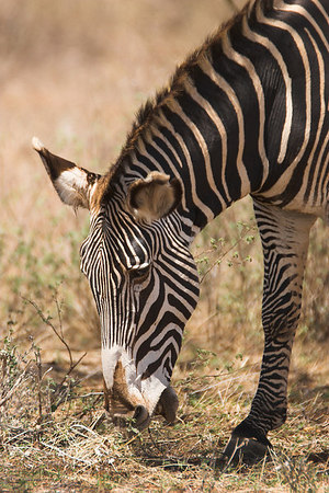 Samburu NP Grevy's Zebra