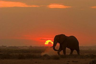 Amboseli NP Matriarch Elephant at Sunset