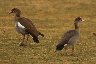 Amboseli NP Egyptian Geese
