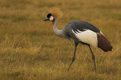 Amboseli NP Crested Crane