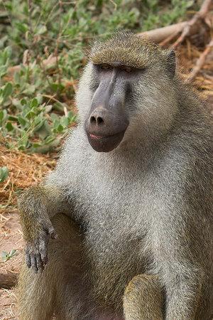 Amboseli NP Baboon