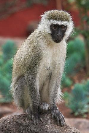 Amboseli NP Vervet Monkey at Serena