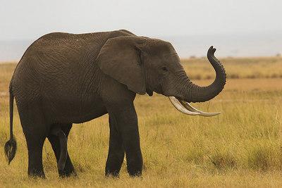 Amboseli NP Bull Elephant