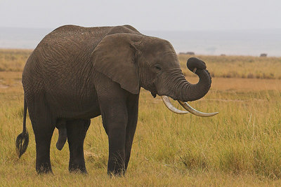 Amboseli NP Bull Elephant Scrubbing Eyes with Grasses