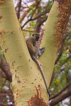 Amboseli NP Vervet Monkey in Yellow Acacia Tree