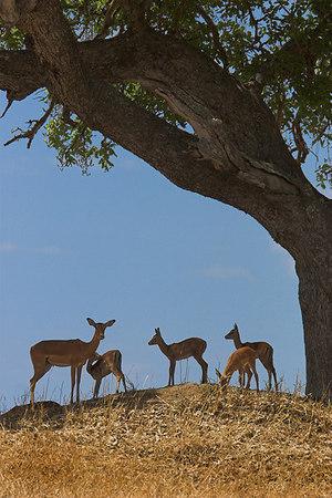 Tarangire NP Impala under Tree
