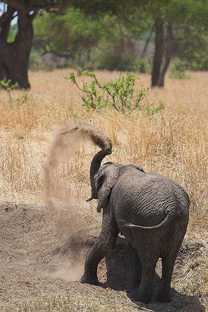 Tarangire NP Baby Elephant Dusting