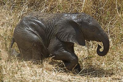 Tarangire NP Stumbling Baby Elephant