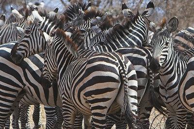 Tarangire NP Zebra Herd