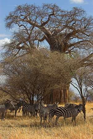 Tarangire NP Zebras and Baobab Tree