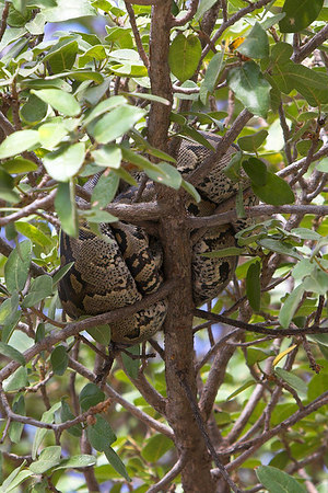 Tarangire NP Python in Tree
