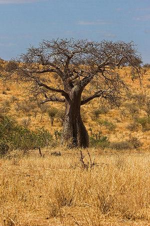 Tarangire NP Baobab Tree