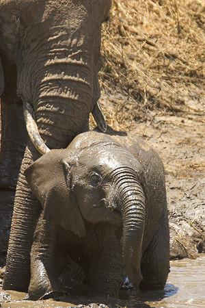 Tarangire NP Baby Elephant Mud Bath