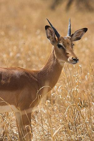 Tarangire NP Young Gazelle