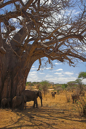 Tarangire NP Elephants scratching on Baobab Tree