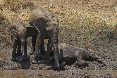 Tarangire NP Elephant Mud Bath