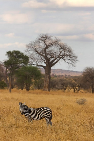Tarangire NP Zebra and Baobab Tree