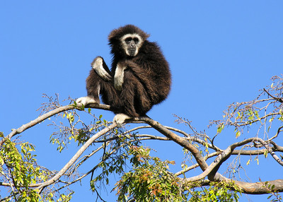 WHITE HANDED GIBBON - MALAY PENINSULA