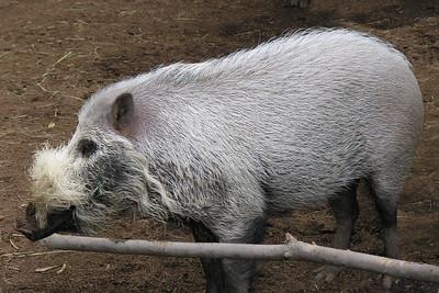 BEARDED PIG - SABAH