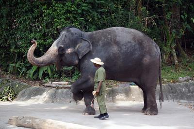ASIAN ELEPHANT - SINGAPORE ZOO