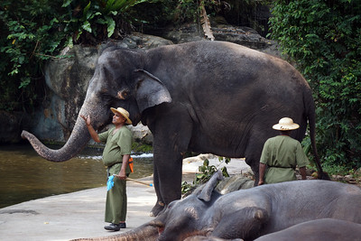 ASIAN ELEPHANTS - SINGAPORE ZOO