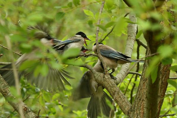 "Azure-winged Magpie (juvenile) / 물까치 ""Korean"" subspecies Cyanopica cyanus koreensis Gwangjuho Lake Ecology Park, Chunghyo-dong, Gwangju, South Korea 5 July 2014"