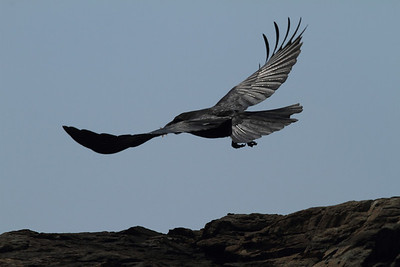 Large-billed Crow / 큰부리까마귀 mandschuricus subspecies Corvus macrorhynchos mandschuricus Daedaepo Beach, Daedae-dong, Busan, South Korea 23 March 2014