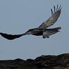 Large-billed Crow / 큰부리까마귀<br> <i>mandschuricus</i> subspecies<br> <i>Corvus macrorhynchos mandschuricus</i><br> Daedaepo Beach, Daedae-dong, Busan, South Korea<br> 23 March 2014