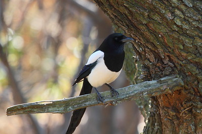 "Eurasian Magpie / 까치 ""Korean"" subspecies Pica pica serica Igidae Park, Yongho 3 ga-dong, Busan, South Korea 31 January 2015"