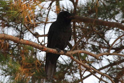 Large-billed Crow (juvenile) / 큰부리까마귀 mandschuricus subspecies Corvus macrorhynchos mandschuricus Gyeongbokgung Palace, Jongno-gu District, Seoul, South Korea 3 November 2013