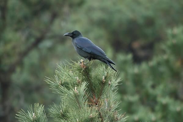 Large-billed Crow / 큰부리까마귀 mandschuricus subspeciesCorvus macrorhynchos mandschuricus Igidae Park, Yongho 3 ga-dong, Busan, South Korea 15 November 2014