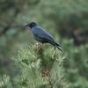Large-billed Crow / 큰부리까마귀<br> <i>mandschuricus</i> subspecies<br><i>Corvus macrorhynchos mandschuricus</i><br> Igidae Park, Yongho 3 ga-dong, Busan, South Korea<br> 15 November 2014