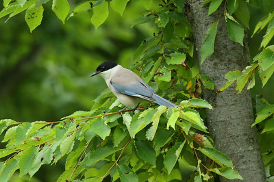 "Azure-winged Magpie / 물까치 ""Korean"" subspecies Cyanopica cyanus koreensis Gwangjuho Lake Ecology Park, Chunghyo-dong, Gwangju, South Korea 5 July 2014"