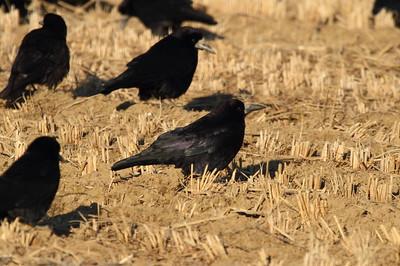 "Rook / 떼까마귀 ""Eastern"" subspecies Corvus frugilegus pastinator Guyeong-ri, Ulsan, South Korea 31 January 2015"