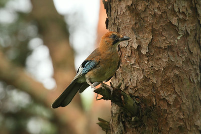 Image result for eurasian jay korea
