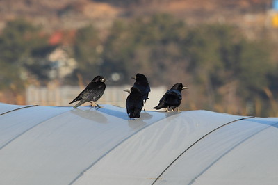 "Rook / 떼까마귀 ""Eastern"" subspecies Corvus frugilegus pastinator Guyeong-ri, Ulsan, South Korea 31 January 2015"