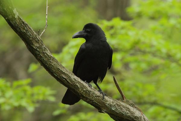 Large-billed Crow / 큰부리까마귀 mandschuricus subspecies Corvus macrorhynchos mandschuricus Taejongdae Park, Dongsam 2-dong, Busan, South Korea 20 April 2014
