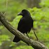 Large-billed Crow / 큰부리까마귀<br> <i>mandschuricus</i> subspecies<br> <i>Corvus macrorhynchos mandschuricus</i><br> Taejongdae Park, Dongsam 2-dong, Busan, South Korea<br> 20 April 2014