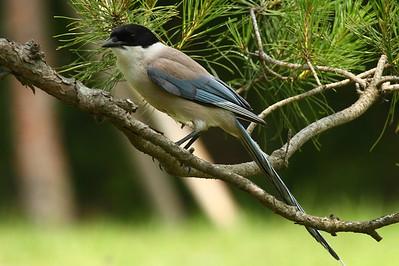 "Azure-winged Magpie / 물까치 ""Korean"" subspecies Cyanopica cyanus koreensis Juknokwon Bamboo Forest, Damyang, Jeollanam-do, South Korea 22 June 2013"