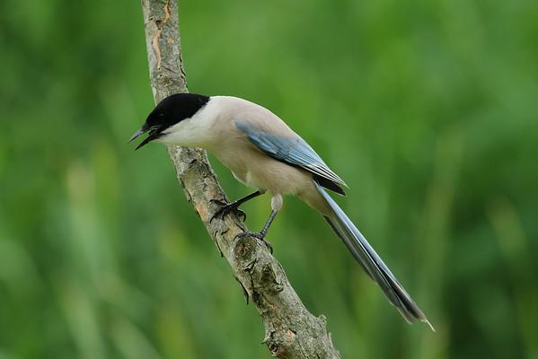 "Azure-winged Magpie / 물까치 ""Korean"" subspecies Cyanopica cyanus koreensis Gwangjuho Lake Ecology Park, Chunghyo-dong, Gwangju, South Korea 5 July 2014"