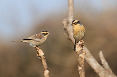 Siberian Accentor / 멧종다리 Nominate subspecies Prunella montanella montanella Gwangjuho Lake Ecology Park, Chunghyo-dong, Gwangju, South Korea 13 January 2015