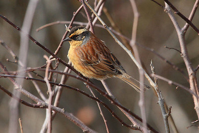Siberian Accentor / 멧종다리 Nominate subspecies Prunella montanella montanella Geumseongsanseong, Damyang-gun, Jeollanam-do, South Korea 3 March 2014