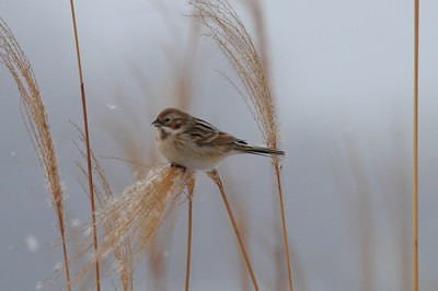 Pallas's Reed Bunting / 북방검은머리쑥새 polaris subspecies Emberiza pallasi polaris Family Emberizidae Yeongsangang River, Dongnim-dong, Gwangju, South Korea 1 January 2015