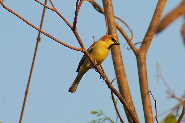 Plain-backed Sparrow (male) / นกกระจอกตาล Passer flaveolus Family Passeridae Siem Reap International Airport, Siem Reap, Cambodia 18 February 2014