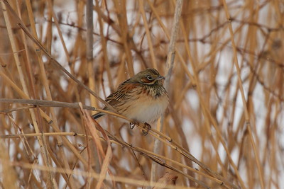 Chestnut-eared Bunting / 붉은뺨멧새 Nominate subspecies Emberiza fucata fucata Family Emberizidae Yeongsangang River, Dongnim-dong, Gwangju, South Korea 1 January 2015