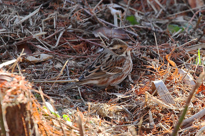 Rustic Bunting / 쑥새 Nominate subspecies Emberiza rustica rustica Family Emberizidae Gwangjuho Lake Ecological Park, Chunghyo-dong, Gwangju, South Korea 4 February 2014