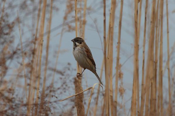 Common Reed Bunting (male) / 검은머리쑥새 pyrrhulina subspecies Emberiza schoeniclus pyrrhulina  Family Emberizidae Dongcheongang River, Suncheon-si, Jeollanam-do, South Korea 9 March 2014