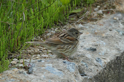 Black-faced Bunting (female) / 촉새 Nominate subspecies Emberiza spodocephala spodocephala Family Emberizidae Eocheong-do, Jeollabuk-do, South Korea 5 May 2014